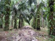 One of millions of palm groves.